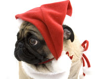 Christmas Pug. Looking cute against white background Royalty Free Stock Photography