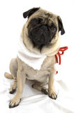 Christmas Pug. Looking sad against white background Royalty Free Stock Photo