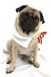 Christmas Pug Royalty Free Stock Photo