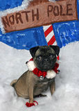 Christmas Pug. Pug Ready for Christmas Royalty Free Stock Photo
