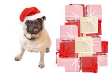 Christmas pug Stock Image