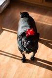 Christmas Pug. A black pug enjoys Christmas with a bow on his head Stock Photos