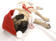 Christmas Pug Sleeping Stock Photo