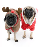 Christmas Pugs. Isolated Christmas Pugs Dressed Up a Reindeer and Santa Royalty Free Stock Image