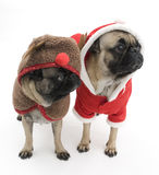 Christmas Pugs Stock Photo