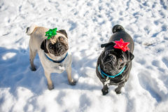 Christmas Pugs Royalty Free Stock Photography