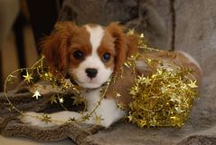 Christmas Pup and Star. Cute King Charles Spaniel wrapped in Christmas Decorations Stock Image
