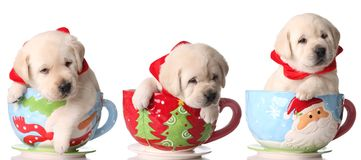 Christmas puppies Royalty Free Stock Photos