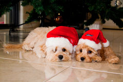 Christmas Puppies. Two puppies getting ready for Christmas Royalty Free Stock Images