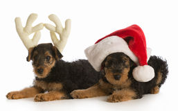 Christmas puppies Stock Images