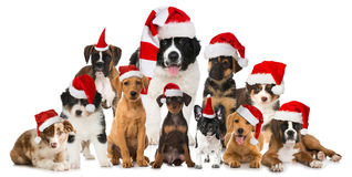 Christmas puppies. Many christmas puppies isolated on white Stock Photography
