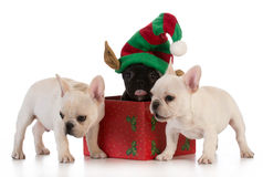 Christmas puppies Royalty Free Stock Photography