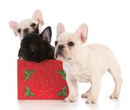 Christmas puppies Stock Image