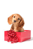 Christmas puppy. A dachshund puppy for Christmas Stock Image