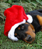 Christmas puppy. Outdoor portrait of a cute little Rottweiler puppy wearing a red Santa Claus hat while lying in green grass stock photography