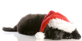 Christmas puppy. Newfoundland puppy wearing santa hat - twelve weeks old Stock Images