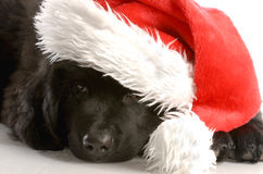 Christmas puppy. Newfoundland puppy wearing santa hat - twelve weeks old Royalty Free Stock Photo