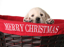 Free Christmas Puppy Royalty Free Stock Images - 21787619