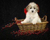 Christmas Puppy. Sitting in a basket on a black background Stock Photography