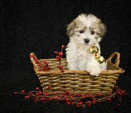 Christmas Puppy. Sitting in a basket on a black background Royalty Free Stock Images