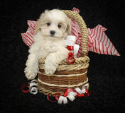 Christmas Puppy. Christmas Malti-poo puppy sitting in a basket with red and white ribbon on a black background Stock Photography