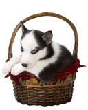 Christmas Puppy. Black and white husky puppy in a Christmas/holiday basket with a painted velvet liner royalty free stock image