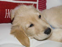 Christmas puppy 26. Photo image of a sleepy golden retiever puppy Stock Images