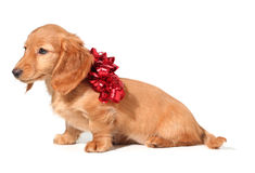 Christmas puppy Royalty Free Stock Image