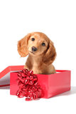 Christmas puppy. A dachshund puppy for Christmas Stock Photo