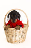 Christmas puppy in basket Stock Photography