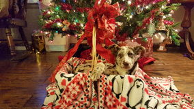 Christmas. Puppy in a basket under the Christmas tree Royalty Free Stock Photo