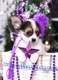 Christmas puppy chihuahua Royalty Free Stock Images