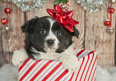 Christmas Puppy. Cute Australian Shepherd puppy popping up out of a gift with a red Christmas bow on her head royalty free stock photo
