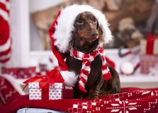 Christmas puppy. Puppy christmas dachshund in Santa Hat stock photo