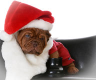Christmas puppy Stock Photo
