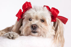 Christmas Puppy Girl. Cute Christmas Maltese Terrier on a white background Royalty Free Stock Photo