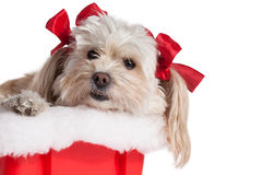Christmas Puppy Girl. Cute Christmas Maltese Terrier on a white background Royalty Free Stock Images