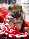 Christmas Pomeranian Spitz puppy. Christmas puppy Pomeranian Spitz on festive background stock image