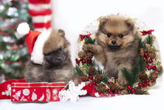 Christmas puppy Pomeranian spitz Stock Photo