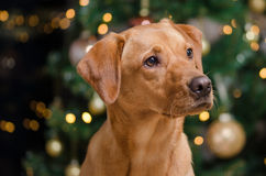 Christmas puppy portraits Royalty Free Stock Images