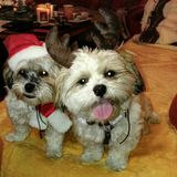 Christmas puppy. Puppys on christmas eve Royalty Free Stock Photo