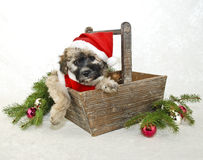 Christmas Puppy in a Santa Suit. Christmas puppy in a Santa suit on a white background Royalty Free Stock Photos