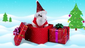 Christmas rabbit sniffing and looking around in gift box stock video footage
