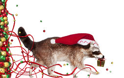 Christmas raccoon Stock Image