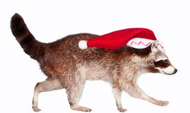 Christmas raccoon. A raccoon with a santa hat isolated on a white background Stock Image