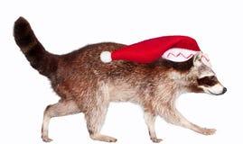 Christmas raccoon Stock Image