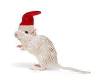 Christmas rat. Little white desert rat wearing a christmas santa cap royalty free stock photos