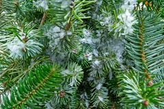 Christmas real fir tree leaves macro snow royalty free stock photos