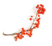 Christmas red berry isolated Royalty Free Stock Photo