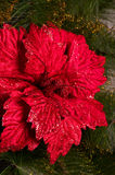 Christmas red flower Royalty Free Stock Photography